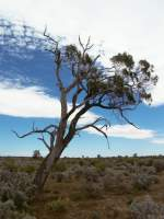 Lone Tree among Saltbush