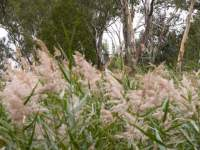 Reeds and Rivergum