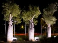 Night Boab Trees