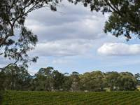 Adelaide Hills Grapevines